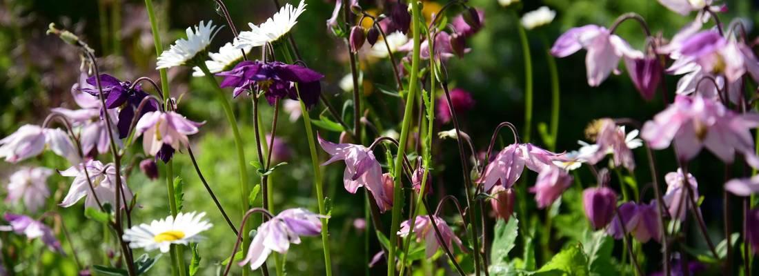 Blüten der Akelei und des Gänseblümchens