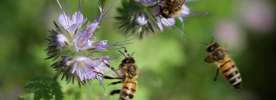 Zwei Bienen befinden sich an jeweils einer Blume während eine weitere Biene fliegt. ©Pixabay